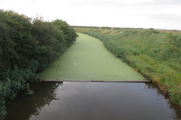A brown river, crossed by a log behind which the surface is wholly covered in algae.